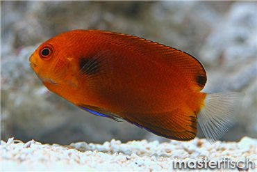 Hawaii-Zwergkaiserfisch