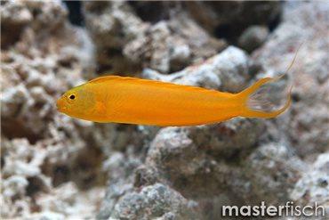 Gelber Schleimfisch