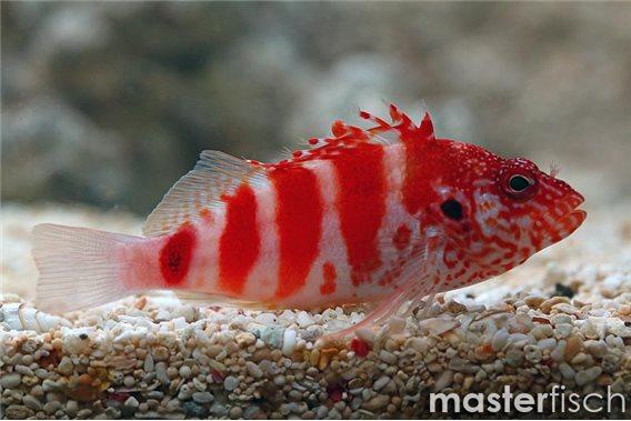 Rotgebänderter Korallenwächter