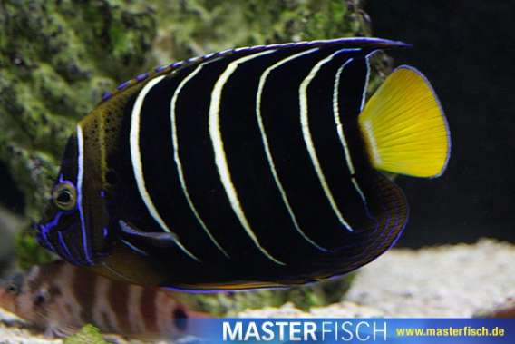 Ostafrika-Kaiserfisch
