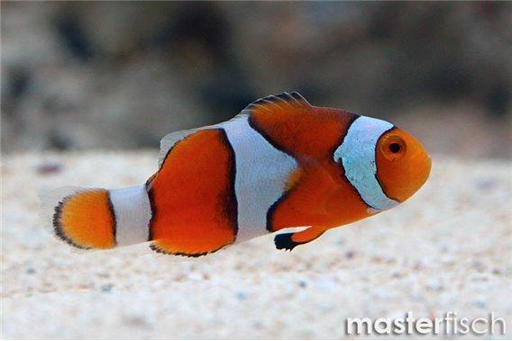 Trauerband-Anemonenfisch (Nachzucht)
