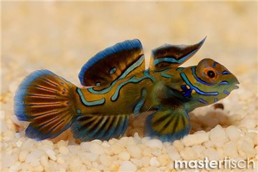 Mandarinfisch Leierfisch