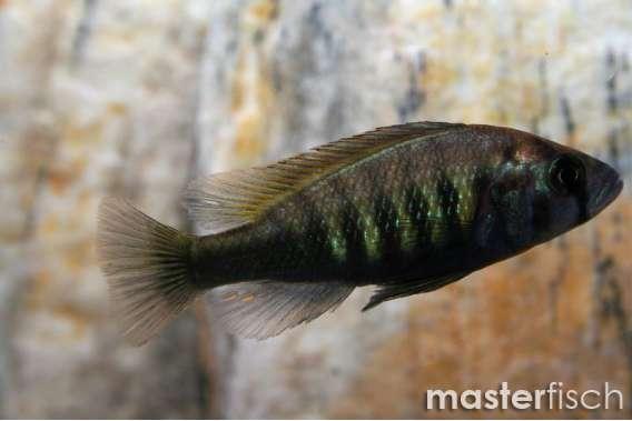 Haplochromis sp. Braun