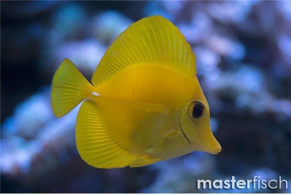 Zitronenflossen Doktorfisch Hawaii Doktor