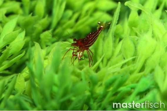 Red Orchid Shrimp (Glaubrechti)