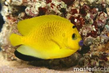 Dreipunkt-Rauchkaiserfisch