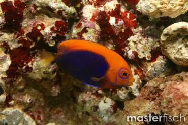 Orangeruecken-Zwergkaiserfisch