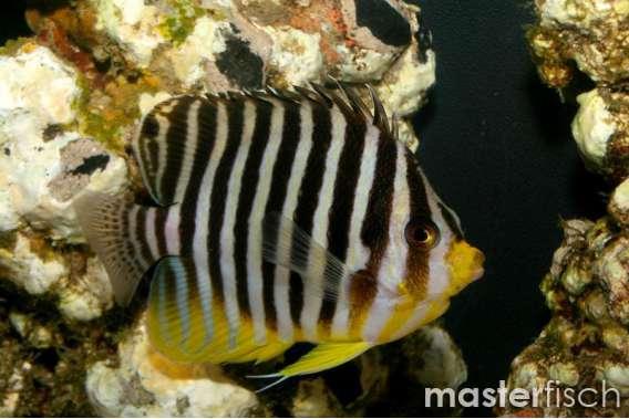Multy-barred Angelfish