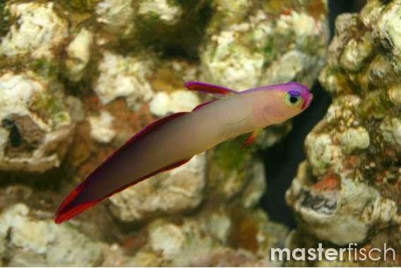 Decorated Firefish