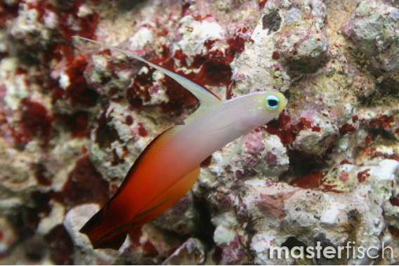 Magnifica Firefish