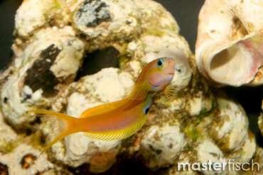 Gold - Schleimfisch