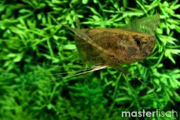 Schmetterlingsfisch (Wildfang)