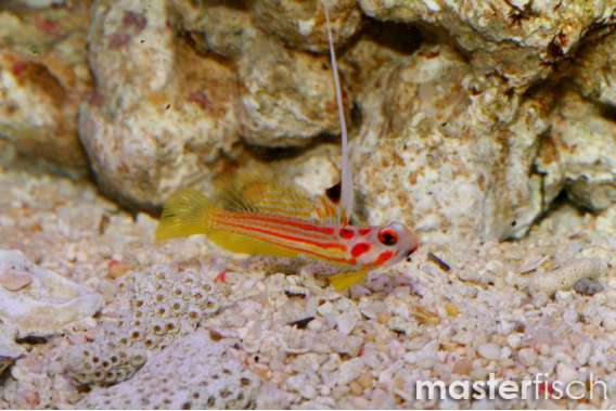 Orange Yasha Hase Shrimp