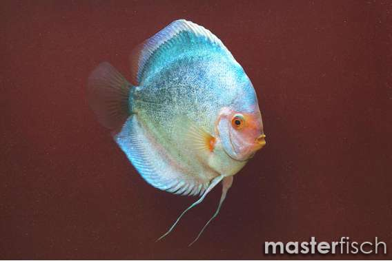 Stendker Discus Dark Angel