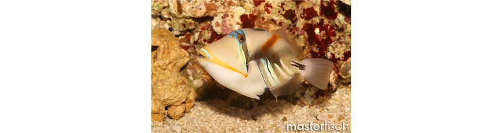 Triggerfish and Filefish