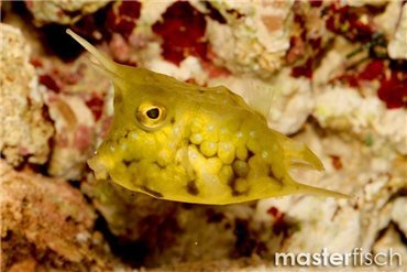 Boxfish/Cowfish and Pufferfish/Globefish