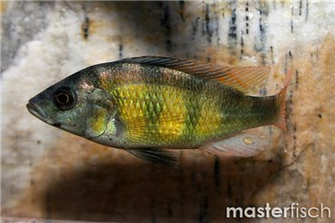 Lake Victoria cichlids