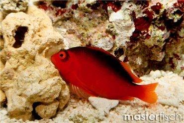 Anglerfische & Korallenwächter